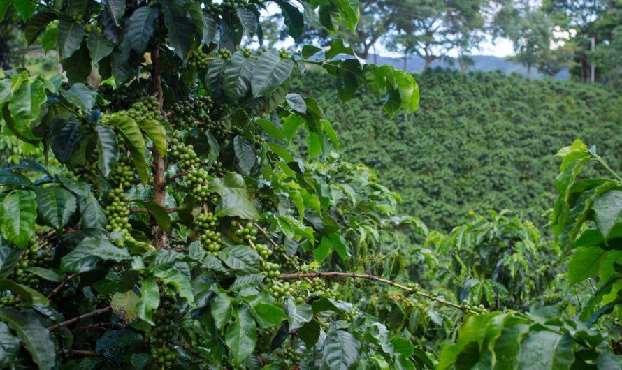 Die Kaffee Plantage