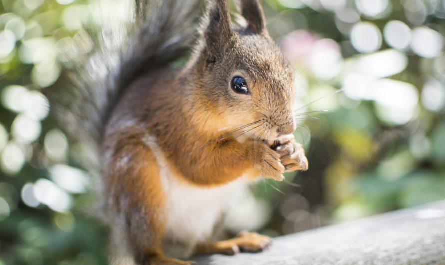 Eichhörnchen und Wein